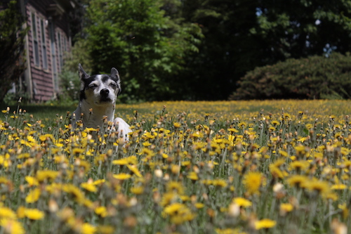 Dog in a bed of dandelions